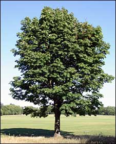 ChestnutTree